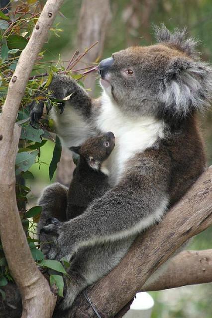 AATW--Australia koala vert
